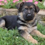 9 week old German Shepherd puppy weight