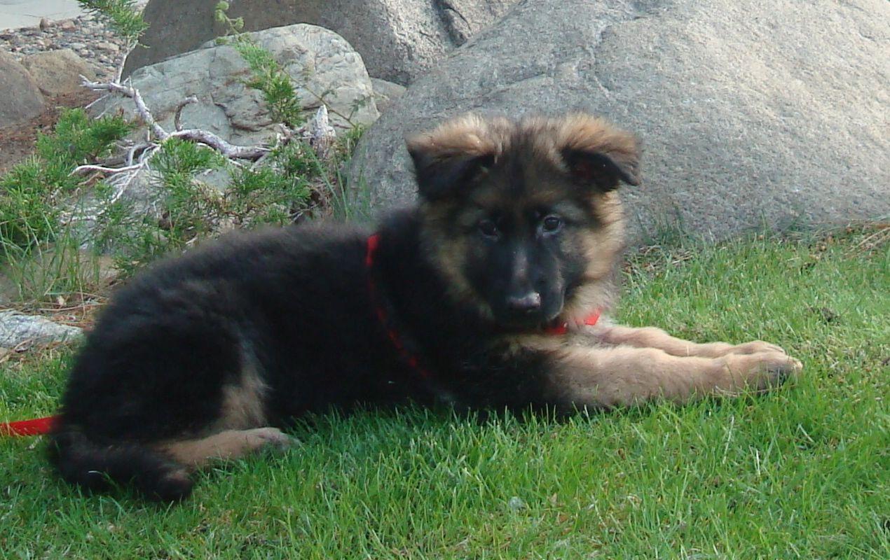 9 week old long haired German Shepherd