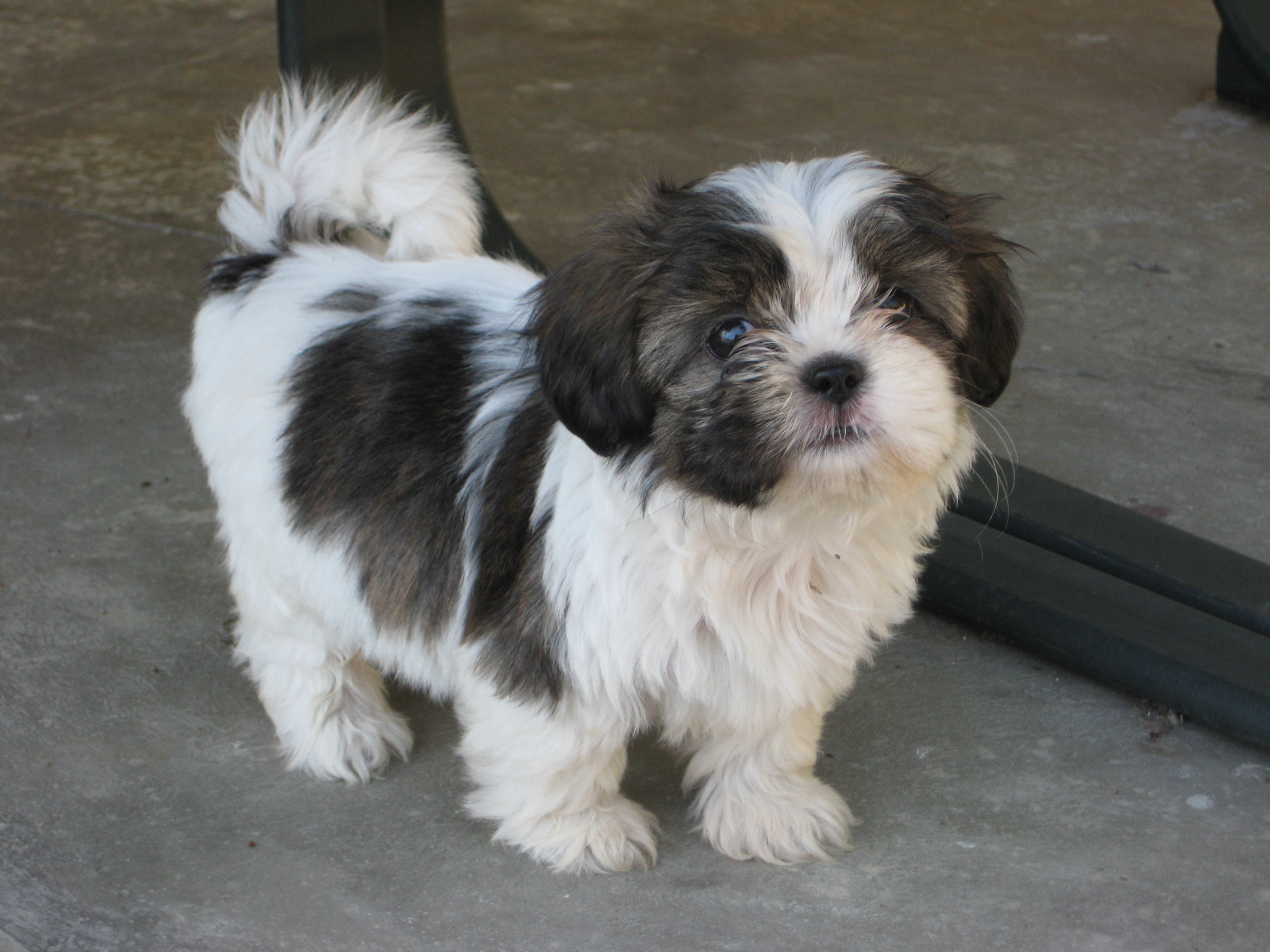 9 week old Shi Tzu