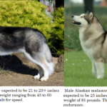 Alaskan malamute vs Siberian Husky differences