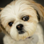 All about Shih Tzu health