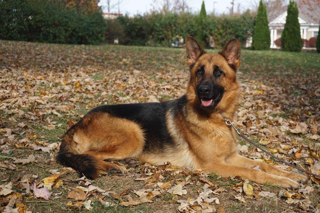average lifespan of a female German Shepherd