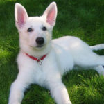 average lifespan of a white German Shepherd
