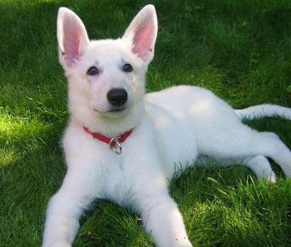 average lifespan of a white German Shepherd