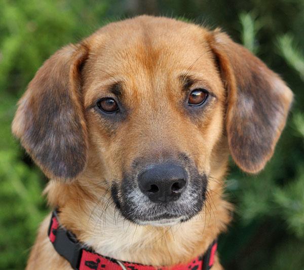 beagle German Shepherd mix for sale