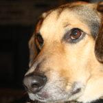beagle German Shepherd mix info