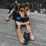 beagle German Shepherd mix puppies