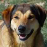 beagle German Shepherd mix temperament