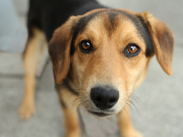 beagle German Shepherd mix