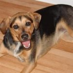 beagle mixed with German Shepherd