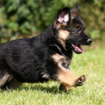 Best food for a German Shepherd puppy