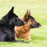 best heartworm preventative for German Shepherds