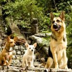 Beverly hills Chihuahua German Shepherd