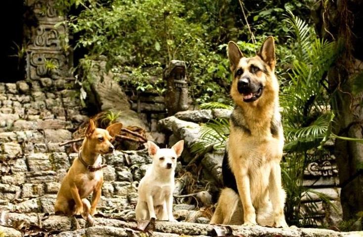 Beverly hills Chihuahua German Shepherd
