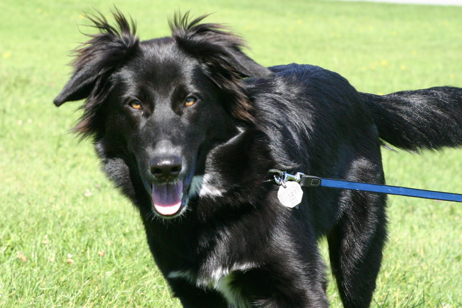Black Golden Retriever German Shepherd Mix 1001doggy Com