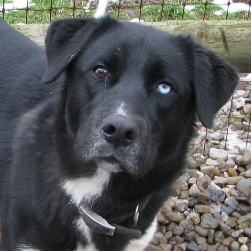 Black Labrador Husky mix