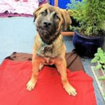 Bullmastiff cross German Shepherd
