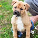Bullmastiff German Shepherd mix puppies for sale