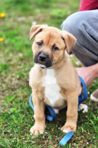 German Shepherd Mastiff Mix - Common Information and Pictures