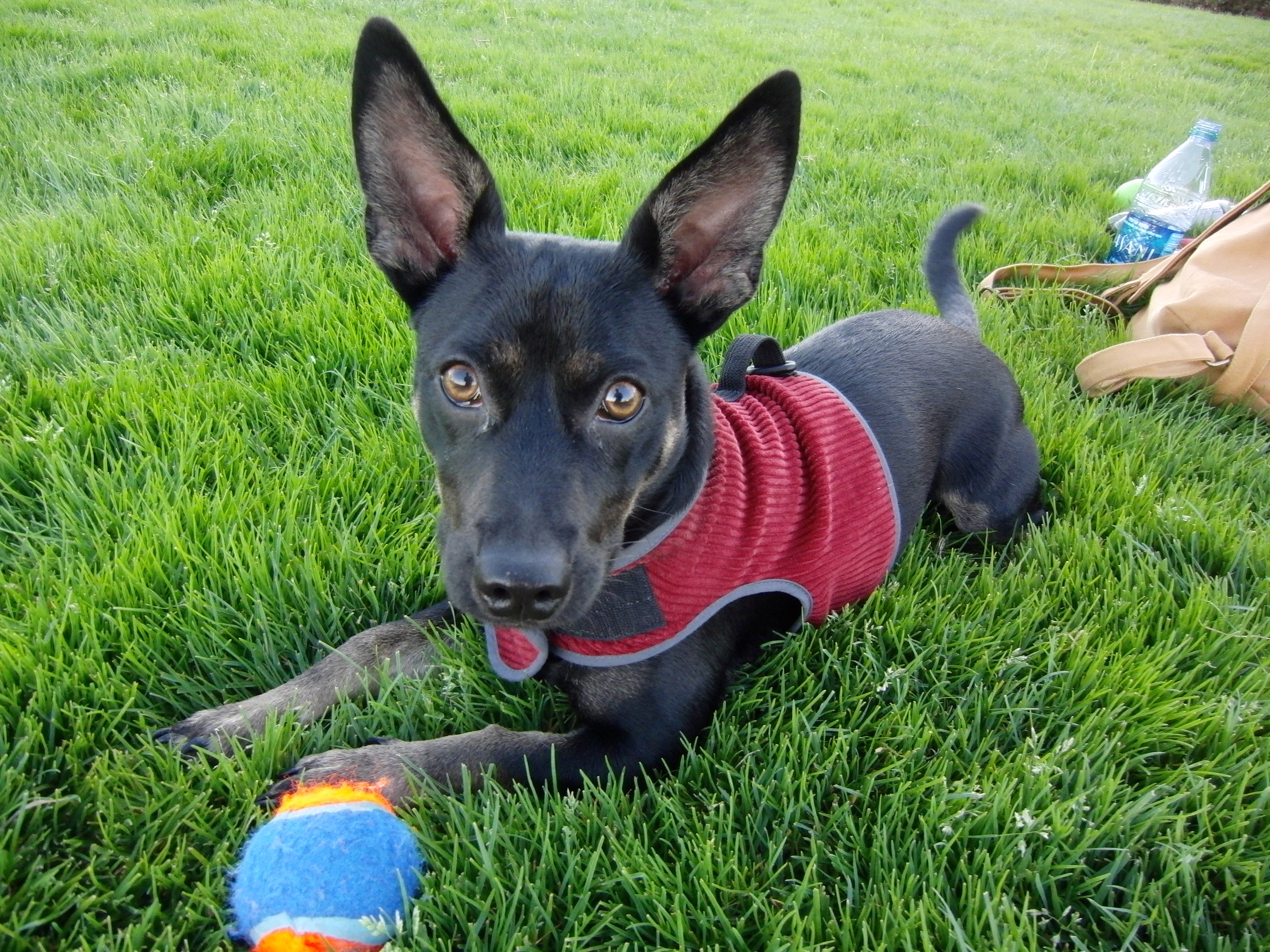 Can a Chihuahua and a German Shepherd mate