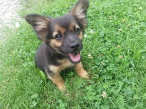 Chihuahua German Shepherd mix