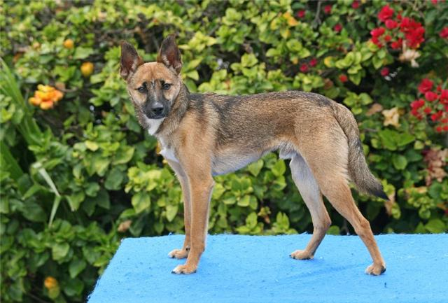 Chihuahua German Shepherd Mix Common Information And Pictures