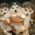Chow chow cross Husky puppies for sale