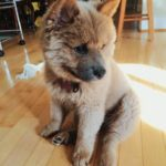 Chow chow Husky mix adoption