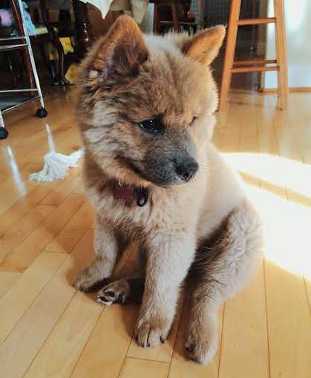 Chow chow Husky mix adoption