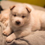 Chow chow Husky mix puppies for sale