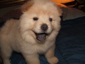 Chow chow Husky mix puppy