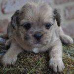 Cross breed Pug and Shih Tzu