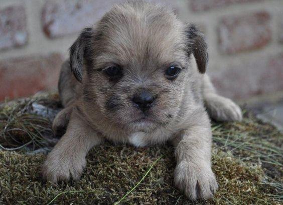 Cross breed Pug and Shih Tzu