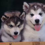 Difference between malamute and Siberian Husky