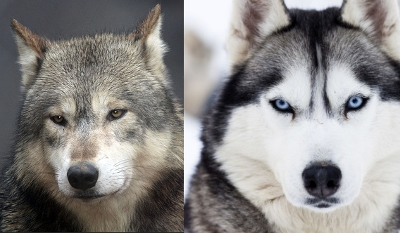 Difference between wolf and Husky