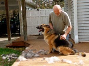 do German Shepherds shed