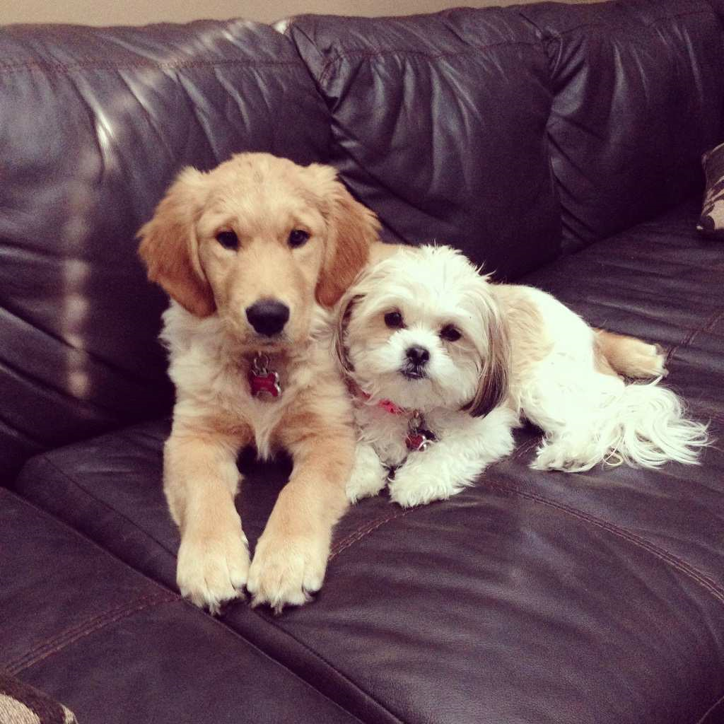 Do Shih Tzu and Golden Retrievers get along