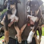 Doberman Husky mix puppies