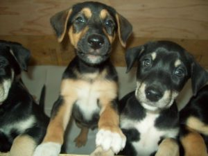 Doberman Husky mix puppies for sale