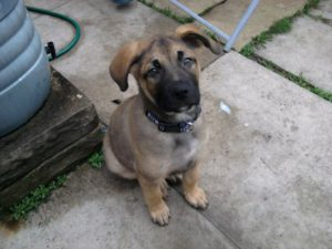 English Mastiff German Shepherd mix