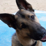 fact about German Shepherd