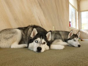 facts on Siberian Huskies