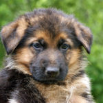Food for German Shepherd puppy
