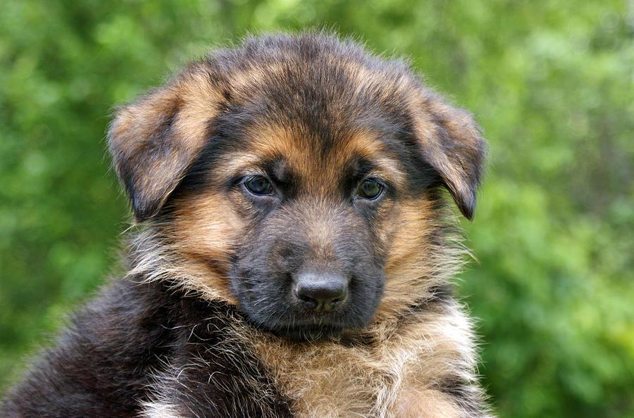 Food for German Shepherd puppy