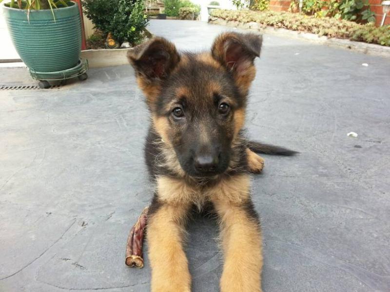 German Shepherd 10 weeks
