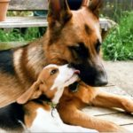 German Shepherd and beagle