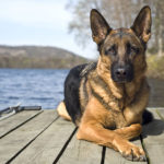 German Shepherd average lifespan
