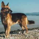 German Shepherd breeding facts