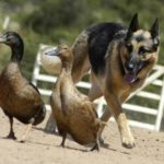 German Shepherd facts and information