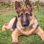 German Shepherd facts and tips